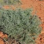 Blackbrush (coleogyne ramosissima) Southern Utah